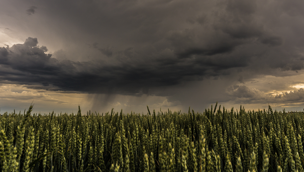 wheat field with incoming dark storm clouds